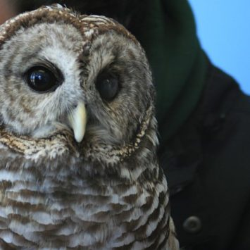 Izzy the Owl-She was hit by a car and blinded in her left eye